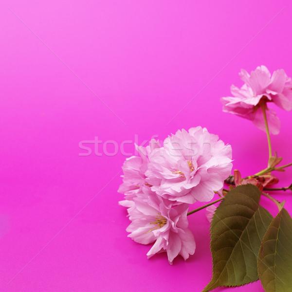 Kiraz çiçeği kiraz çiçek pembe yüzey Stok fotoğraf © crisp
