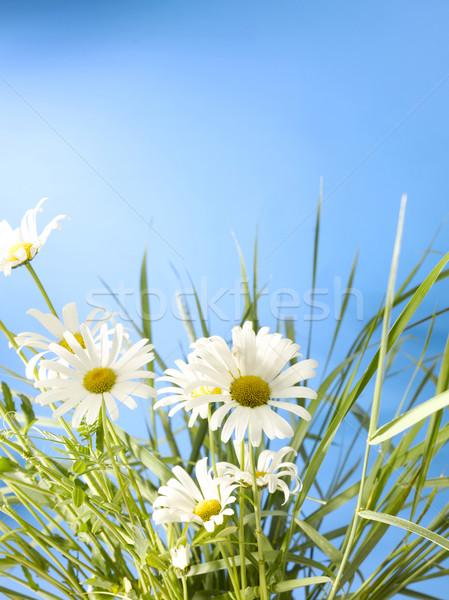 Witte daisy wielen diep blauwe hemel Stockfoto © crisp