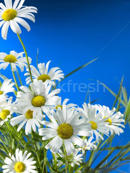 Branco margarida rodas profundo blue sky Foto stock © crisp