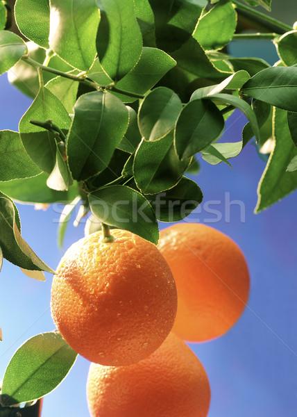 growing oranges Stock photo © crisp