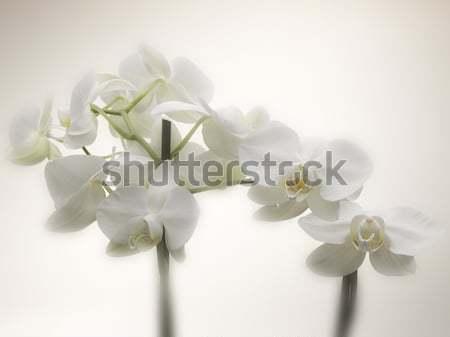 Orkide düğün çiçek bahar bitki beyaz Stok fotoğraf © crisp