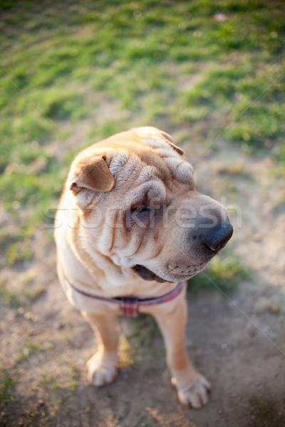 Sharpei köpek park bahar mutlu bahçe Stok fotoğraf © csakisti