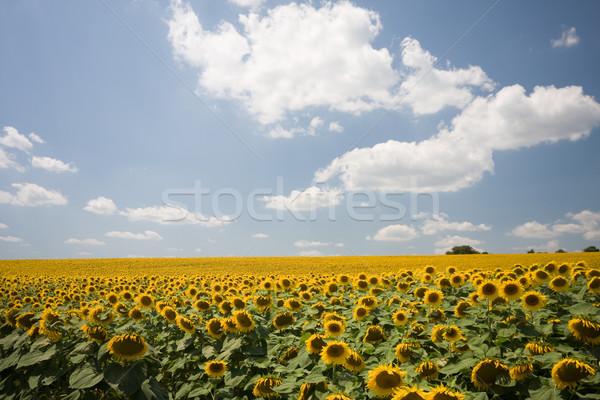 sunflowers  Stock photo © csakisti