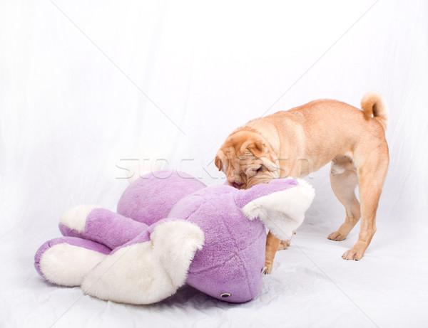 Sharpei köpek oynama oyuncak genç beyaz Stok fotoğraf © csakisti
