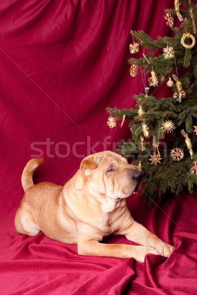Sharpei köpek noel ağacı Yıldız eğlence uyku Stok fotoğraf © csakisti