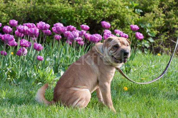Sharpei köpek lale bahçe mutlu doğa Stok fotoğraf © csakisti