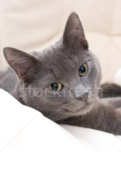 Cute серый кот кошки расслабляющая диван Сток-фото © ctacik
