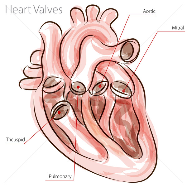 Heart Valves Watercolor Chart Stock photo © cteconsulting