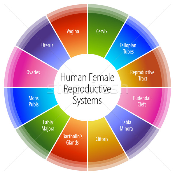Human Female Reproductive Systems Chart Stock photo © cteconsulting