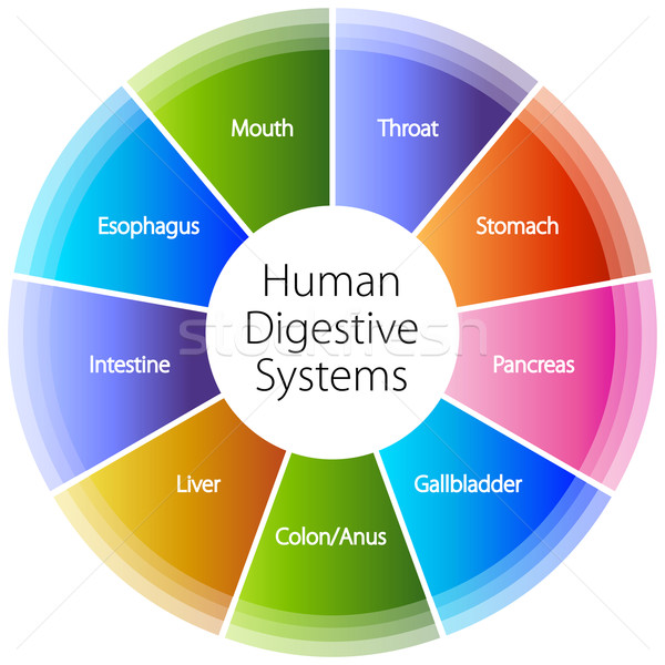 Human Digestive Systems Stock photo © cteconsulting