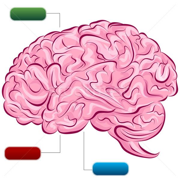Cérebro humano diagrama imagem espaço traçar desenho Foto stock © cteconsulting