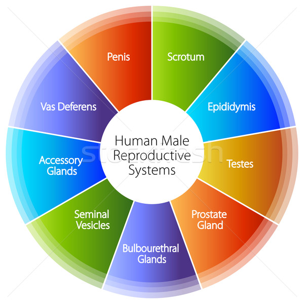 Human Male Reproductive Systems Chart Stock photo © cteconsulting