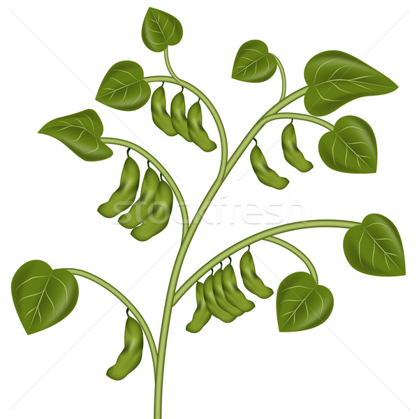Soybean Plant Stock photo © cteconsulting