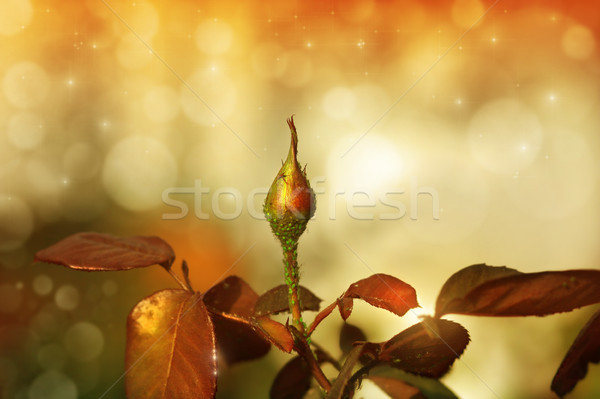 Rosebud Stock photo © curaphotography