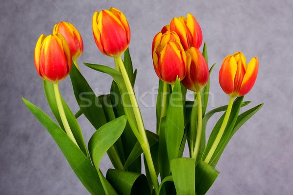 красивой оранжевый красный тюльпаны серый Пасху Сток-фото © Cursedsenses
