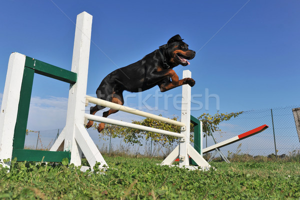 rottweiler in agility Stock photo © cynoclub