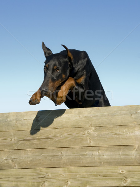 jumping doberman Stock photo © cynoclub