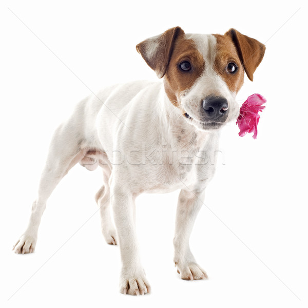 jack russel terrier with flower Stock photo © cynoclub