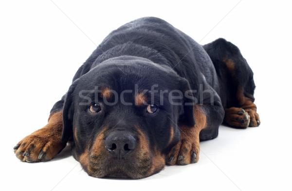 Rottweiler portret biały czarny głowie Zdjęcia stock © cynoclub