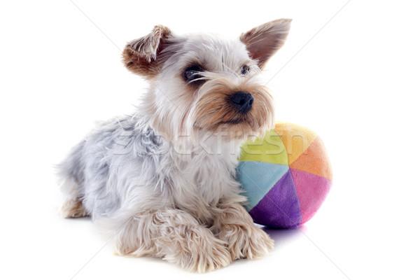 Foto stock: Yorkshire · terrier · pelota · retrato · blanco