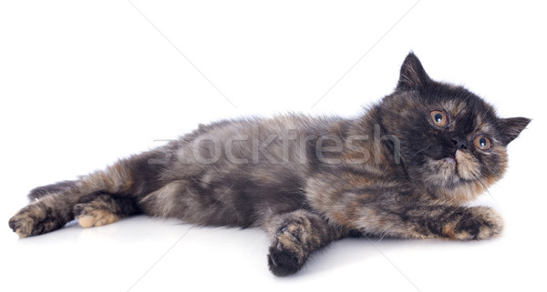 Stockfoto: Exotisch · korthaar · kitten · witte · kat · spelen
