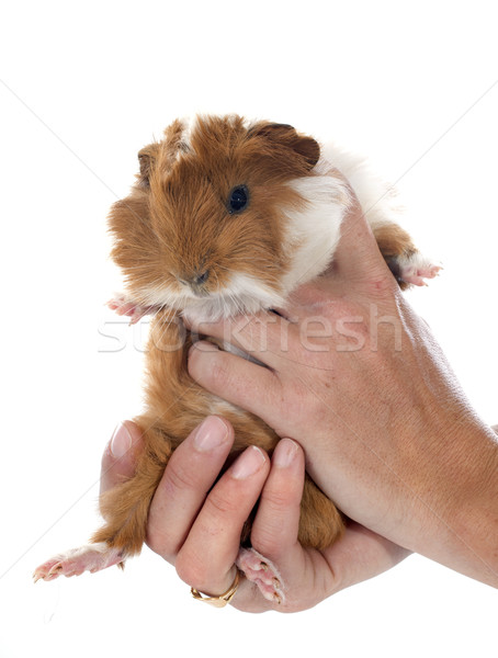 young Guinea pig Stock photo © cynoclub