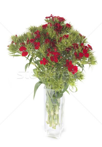Dianthus barbatus Stock photo © cynoclub