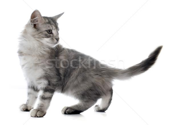 Maine kitten witte kat dier zilver Stockfoto © cynoclub