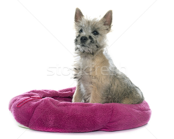 puppy cairn terrier Stock photo © cynoclub