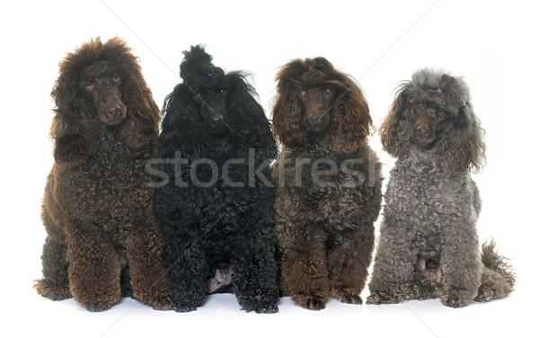 poodles in studio Stock photo © cynoclub