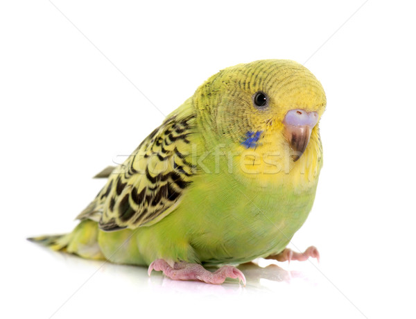 young colorful budgerigar Stock photo © cynoclub