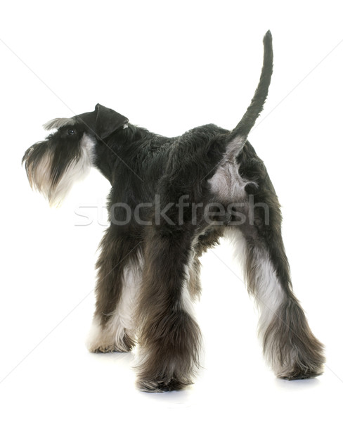 back of miniature schnauzer Stock photo © cynoclub