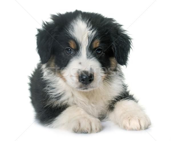 Cachorro australiano pastor estudio blanco negro Foto stock © cynoclub