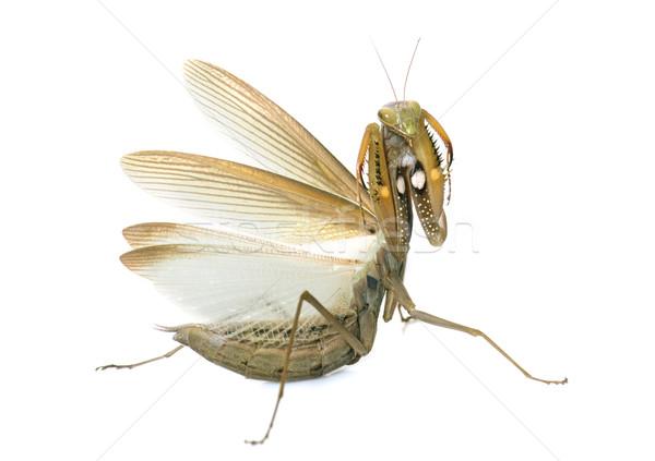 Stock photo: European mantis in studio