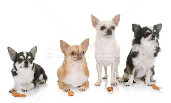 chihuahuas and treats Stock photo © cynoclub