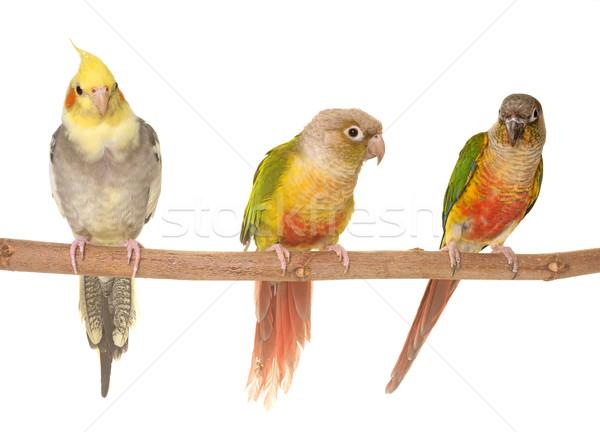 cockatiel and Green-cheeked parakeet Stock photo © cynoclub