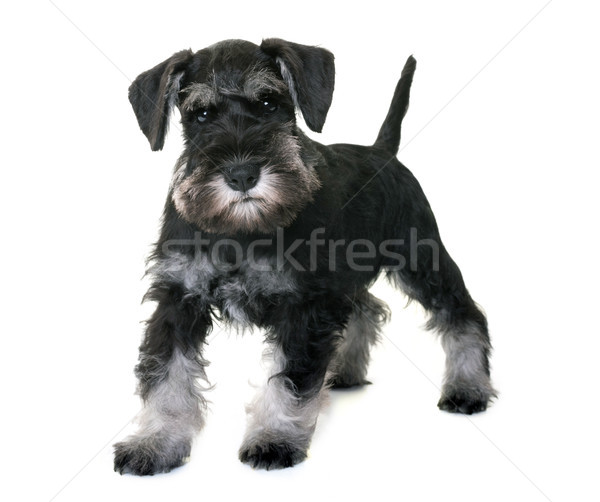 puppy miniature schnauzer Stock photo © cynoclub