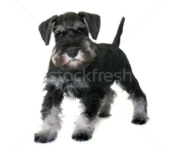 Cachorro miniatura schnauzer branco cão preto Foto stock © cynoclub