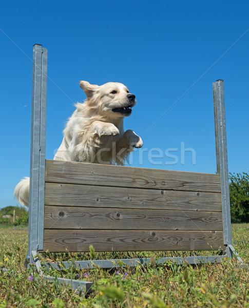 Szkolenia posłuszeństwo skoki dziedzinie ogrodzenia Zdjęcia stock © cynoclub