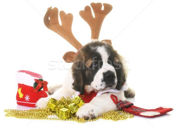 puppy saint bernard and christmas Stock photo © cynoclub