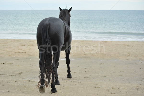stallion on the beau Stock photo © cynoclub