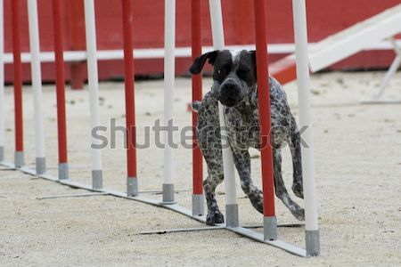 Chien de berger portrait concurrence chien mouvement Photo stock © cynoclub