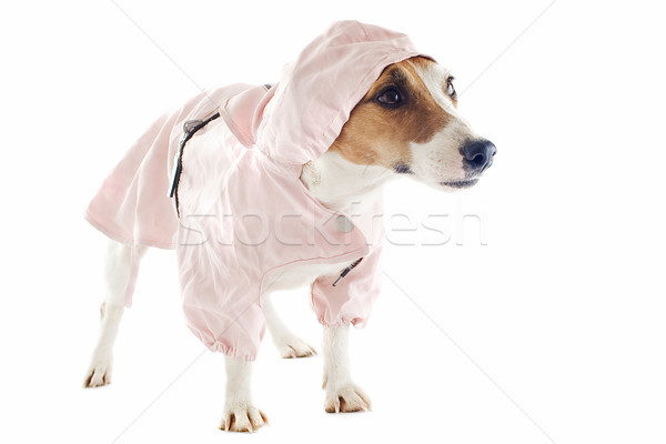 jack russel terrier and raincoat Stock photo © cynoclub