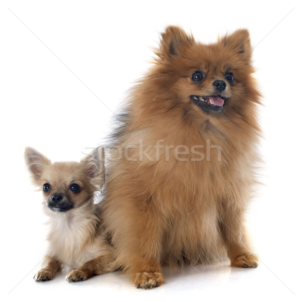puppy chihuahua and spitz Stock photo © cynoclub
