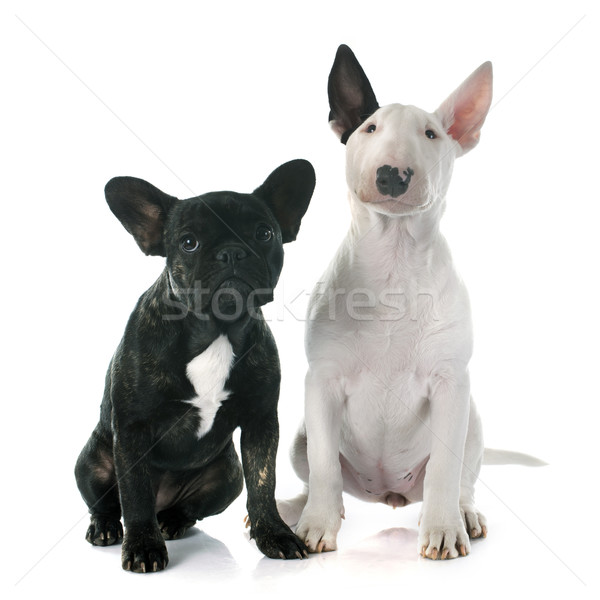 puppy bull terrier and french bulldog Stock photo © cynoclub