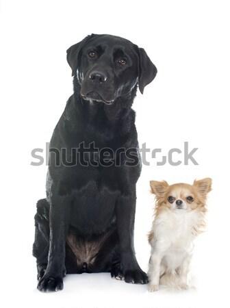 puppies pug Stock photo © cynoclub