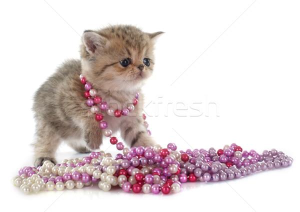 子猫 エキゾチック ショートヘア 白 猫 動物 ストックフォト © cynoclub