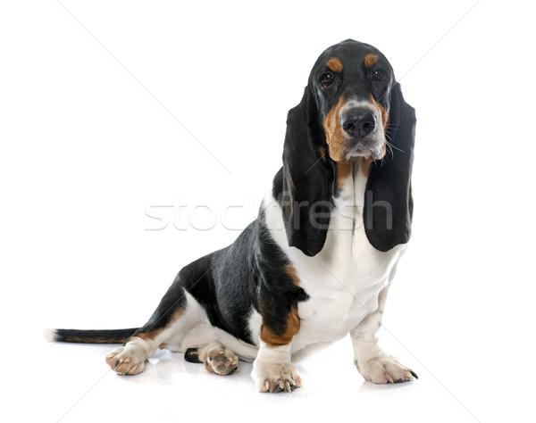 Stock fotó: Fiatal · vadászkutya · fehér · kutya · fekete · stúdió