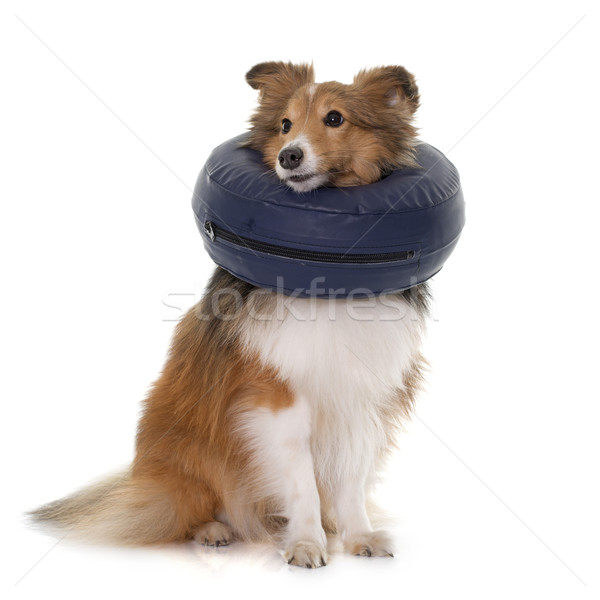 dog with protective collar Stock photo © cynoclub