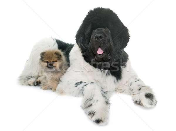 pomeranian and newfoundland dog Stock photo © cynoclub